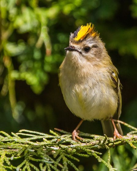 Goldcrests seek out insects in conifers (c) Andy Morffew