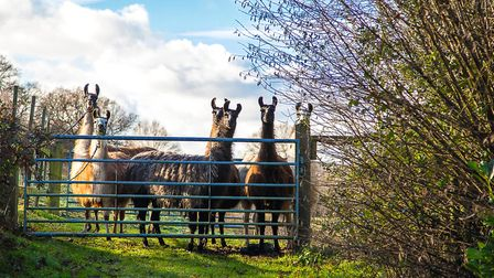 The pub is home to 11 llamas, including two babies