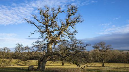 Magnificent oak trees at the Sherborne Estate (c) William Gray Photography