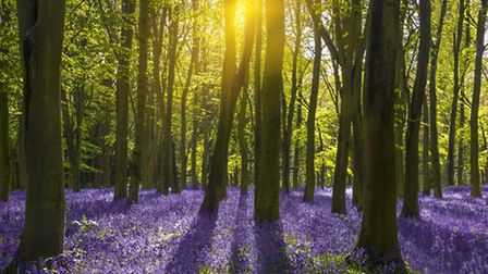 The bluebell woods of Oxfordshire (c) allou / Shutterstock
