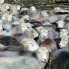Herdwicks are among the greatest challenges for Hannah and Fraser
