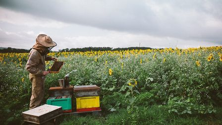 A beekeeper tending hives in the Sunflower meadow The Maker Series.