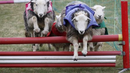 Speedy sheep aleaping in the Lamb National, a very popular race at Andoversford.