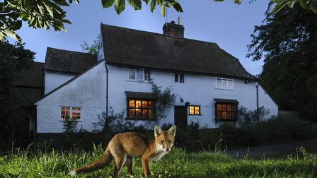A fox on the night-time prowl (c) Terry Whittaker