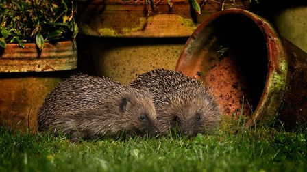 Hedgehogs are night-time visitors to our gardens (c) Jon Hawkins