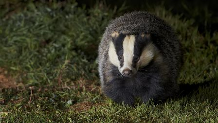The badger is busy at night (c) Richard Steel