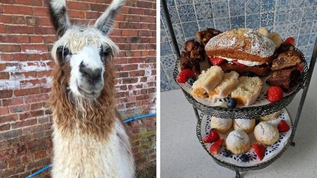 Trek with the Llamas and enjoy a delightful homemade afternoon tea afterwards at Briery Hill Llamas