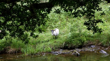 Inquisitive sheep at Badgworthy Water