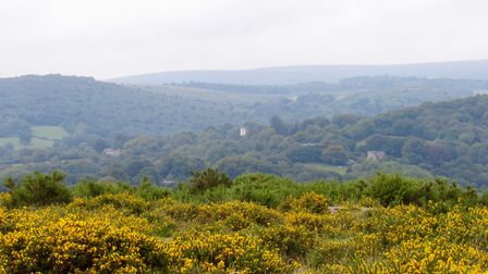Vibrant yellow gorse flanks the path across Hunters Tor and the bright tower of Manatons Church is c