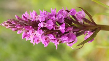 Vivid violets: it is the deep purple and dark spots and lines that give away this marsh orchid