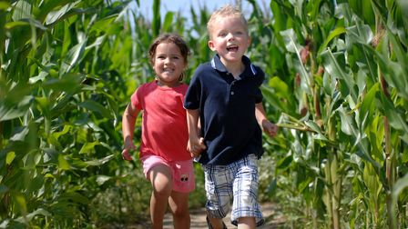 The maize maze at Willows Farm