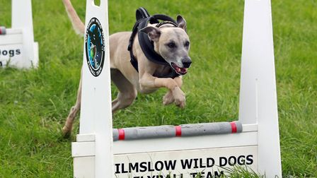 Display in the Countryside Arena by The Wilmslow Wild Dogs Flyball Team *** Local Caption *** The Ro