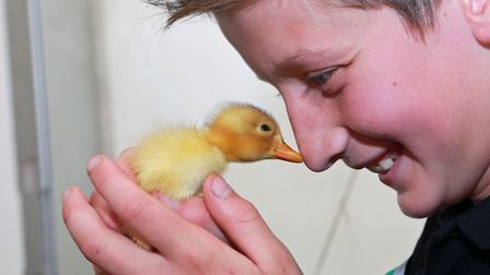 Going quackers....Ten years old Tudor Houghton with a day-old duckling at the Cheshire Poultry Farm,