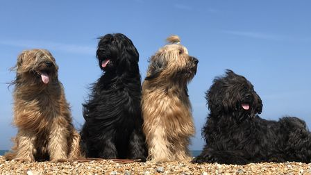 Our herd of Briards