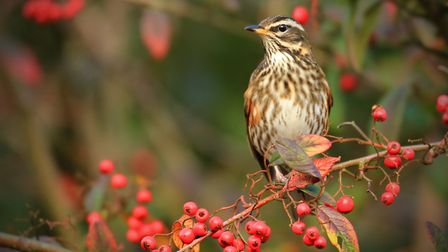 Berries are a valuable food course for birds during autumn and winter. Picture by Jon Hawkins.