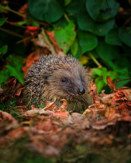 Build a hedgehog house this autumn. They are perfect for safe hibernation. Picture by Jon Hawkins.