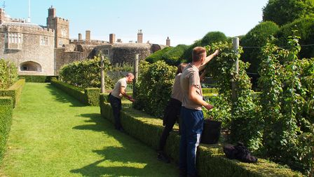 Press picking at Walmer Castle for Deal Hop Farm