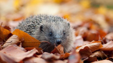 Leaves are the perfect home for a hedgehog to hibernate. Picture by Tom Marshall