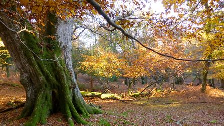 Mark Ash Wood in the New Forest (Photo by New Forest Wanderer)