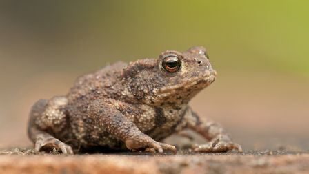 Could this common toad be a thing of the past? Picture by Dawn Monrose