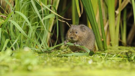 A curious water vole. Picture by Terry Whittaker