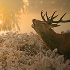A stag in the early sunrise is a wonderful winter sight. Picture by Jon Hawkins.