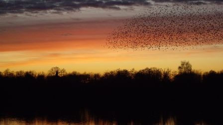 Starlings over Ivy Lake Photo: Hampshire and Isle of Wight Wildlife Trust