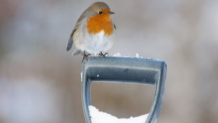 Robin (Erithacus rubecula) adult perched on spade handle in winter, Scotland, UK