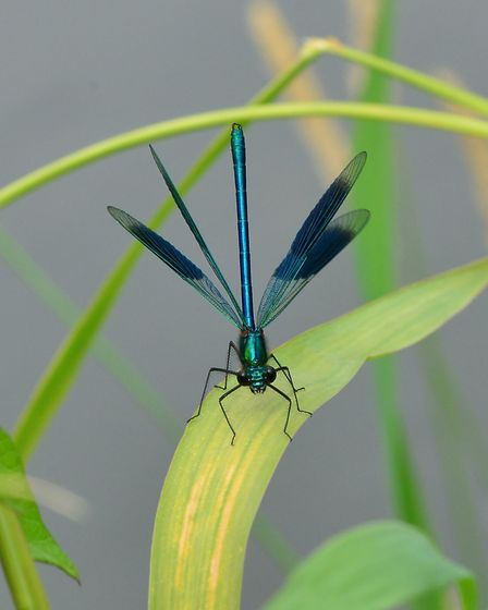 Banded demoiselle male displaying