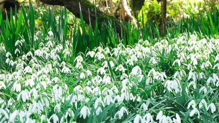 Snowdrops are an early winter star in the varied gardens at Waterperry (photo: Mandy Bradshaw)