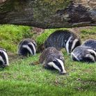 Badger sow and cubs (c) TonyBaggett/Getty Images/iStockphoto