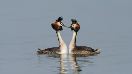 Great crested grebes in courtship (c) mauribo/Getty Images/iStockphoto
