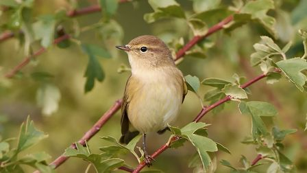 Common Chiffchaff resting on a branch in its habitat Photo: Denja1/Getty Images/iStockphoto