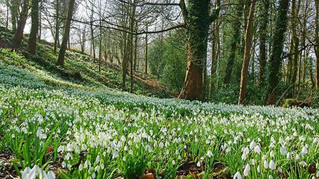 These are some of the best places to see snowdrops in the Cotswolds (photo: Peter Llewellyn)