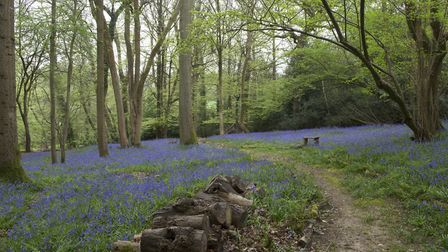 The ancient bluebell woodland