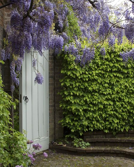 Drapes of graceful wisteria