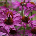 Clumps of echinacea are laden with bees through summer