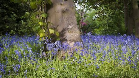 Bluebells Gathered at the Tree, Great Barrow by Stephen Bell
