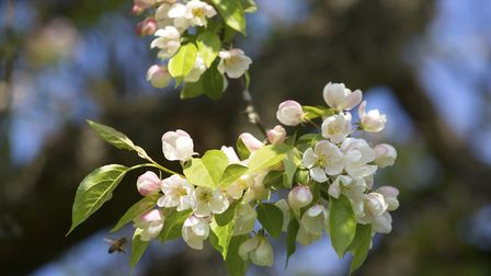 Dainty crab apple blossom
