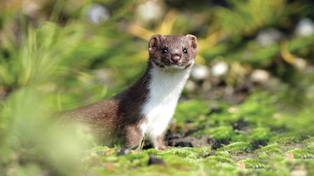 Weasels have been spotted playing on the woodland edges (c) Schaef1/Getty Images/iStockphoto