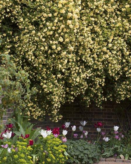 A shower of banksia roses above a pretty border of tulips, euphorbia and alchemilla