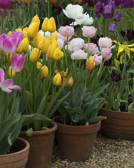 Potted tulips add to the display
