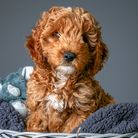 Digby the Cockapoo