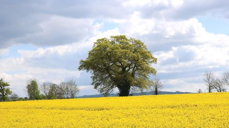 Fields of gold in the Cotswolds