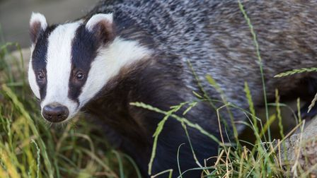 A portrait of a Badger near his set (c) turbohampster/Getty Images/iStockphoto