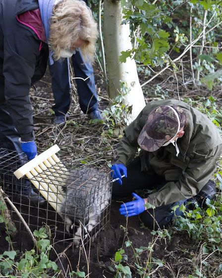 CVPV vaccinate a badger, with bio-security controls as standard, even before Covid19,