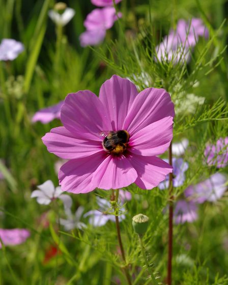 Like honey to a bee, wildflowers are integral to our buzzy friend's future. Picture by Gillian Day
