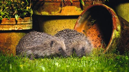 Animals like this prickly pair are ones you can take care of by letting part of your garden go wild.