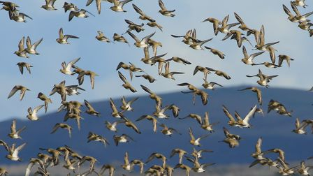 Flocks of golden plover can be seen at Horsey Island in winter. Photo: Martin Batt
