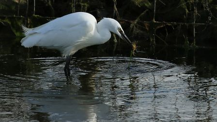 Look out for little egrets feeding at Horsey Island, Devon. Photo: Martin Batt